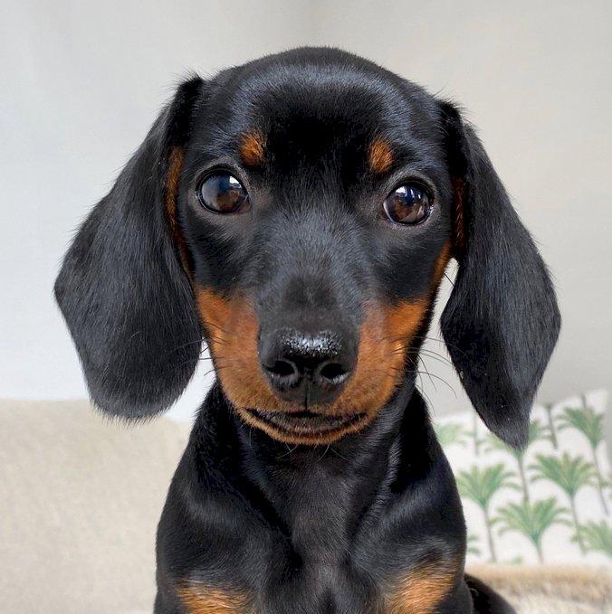Jamnik - Urocza mała jamnik. Czarno-brązowy pies (9×6)