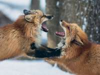 Two foxes fight in a snowy