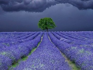 Lavender field. - Puzzle puzzle: lavender fields. Purple flowers on a cloudy day.