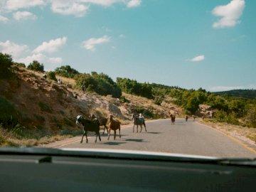 Zagubiony w środku - Zwierzęta idące wzdłuż drogi. Londyn. Stado bydła idącego przez ulicę.