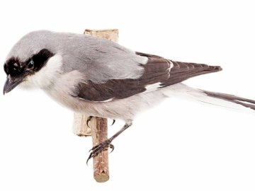 Black Shrike - Lifestyle and behavior. It is a migratory bird. Black-headed shrike arrives in the country in May, a
