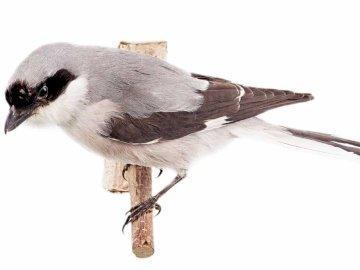 Alcaudón Negro - Estilo de vida y comportamiento.Es una ave migratoria. El alcaudón de cabeza negra llega al país e
