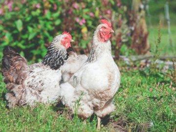 Poules, fleurs - Photographie de mise au point peu profonde de deux poules blanches. Yorkshire, Royaume-Uni. Un poule