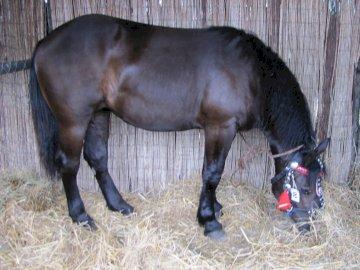 cavallo nero - Un cavallo così nero ... Un cavallo sta mangiando fieno.