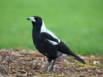 Dzierzbowron - Occurrence and environment. This bird is found in Australia. It stays in open areas and quite often