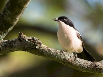 Bush scream - Occurrence and environment. This species is found in Africa below the Sahara. A small bird perched o