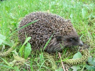 Hérisson - à la recherche de nourriture - Jeune hérisson. Mammifères. Animal de la forêt. A des pointes. Il aime les larves et les souris.