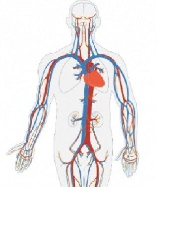 układ krążenia - animowany układ krążenia dla dzieci (4×4)