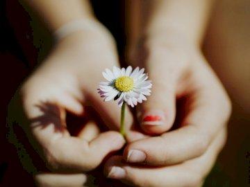 Daisy, pour les enfants - Personne tenant une fleur de Marguerite blanche. Allemagne. Une main tenant une fleur.