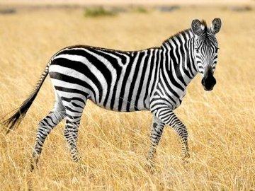SAVANNAH ANIMALS: ZEBRA - PHOTOGRAPH OF A ZEBRA. A zebra standing on top of a dry grass field.