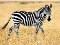 ANIMAUX SAVANNAH: ZEBRA - ZEBRA (ANIMAL DE LA SAVANNAH). PHOTOGRAPHIE D'UNE ZEBRE. Un zèbre debout au sommet d'un c