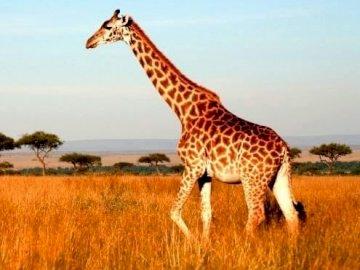 GIRAFFE (ANIMALS OF THE SAVANNAH) - 6-PIECE PUZZLE: GIRAFFE. A giraffe walking across a grass covered field.