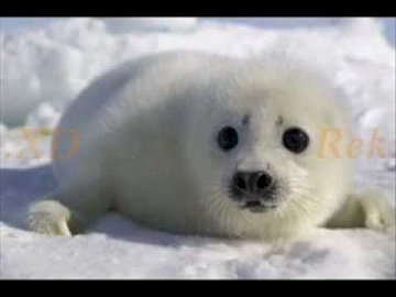 focia lol - arrange focie focie are cool. A seal lying in the snow.