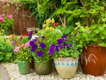 Цветя в саксии - Цветни цветя в саксии. В близост до цветна градина.