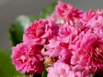 Potted flowers, kalanchoe - Potted flowers, kalanchoe. A close up of a flower.