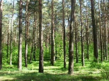 Bydgoszcz Forest - Fresh coniferous forest in the Bydgoszcz Forest. A tree in a forest.
