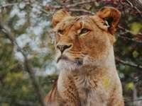 Lioness photo - Schönbrunn Zoo, Wien, Austria. A lion looking at the camera.