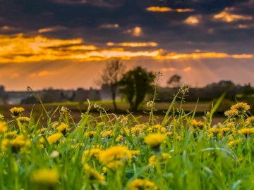 Prato primavera - Paesaggio raffigurante un prato di primavera. Un fiore giallo in un campo.