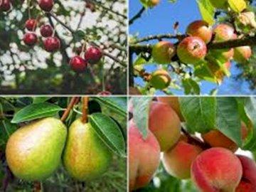 Jabłka, gruszki - gruszki,wiśnie, jabłka. Kilka różnych rodzajów owoców.