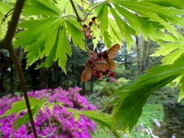 Japanese Maple - Przelewice Arboretum - Japanese maple, cut-in variety - flowers and fruit buds.