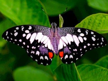 Fase di sviluppo della farfalla - Puzzle per condurre lezioni.