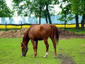 EL CABALLO EN LA PASARELA - EL CABALLO EN LA PASARELA NUCK GRASS. Un caballo marrón pastando en un campo verde y exuberante.
