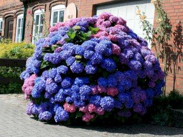 Hortensja. - Układanka. Kwiaty. Hortensja. Kolorowy ogród kwiatowy przed ceglanym budynkiem.
