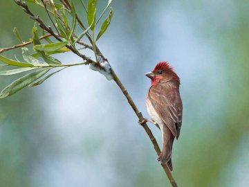 House Finch (Erythrina erythrinus) - Lifestyle and behavior. Dziwonia arrives at the latest from all birds, because only at the end of Ma