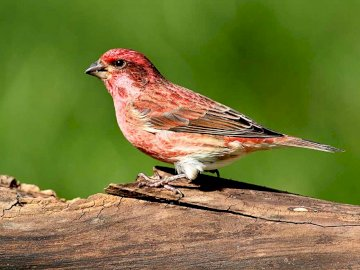Purple Finch - Occurrence and environment. This species is found in North America from Canada afternoon regions of