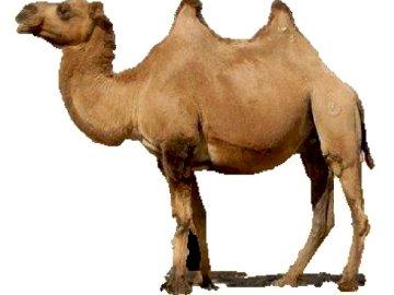 Puzzle Wielbłąd - Puzzle Camel