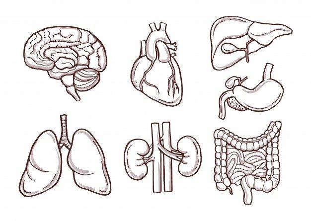 PRINCIPALELE CORPURI DIN CORPUL UMAN - Principalele organe ale corpului uman. Un organ este un set de țesuturi diverse care îndeplinesc o anumită funcție. Mai multe organe alcătuiesc un aparat. Fiecare dispozitiv are o funcție specif (4×4)