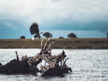 Fischadler - Weißer und schwarzer Vogel auf Treibholz. Südafrika. Ein Vogel fliegt über ein Gewässer.