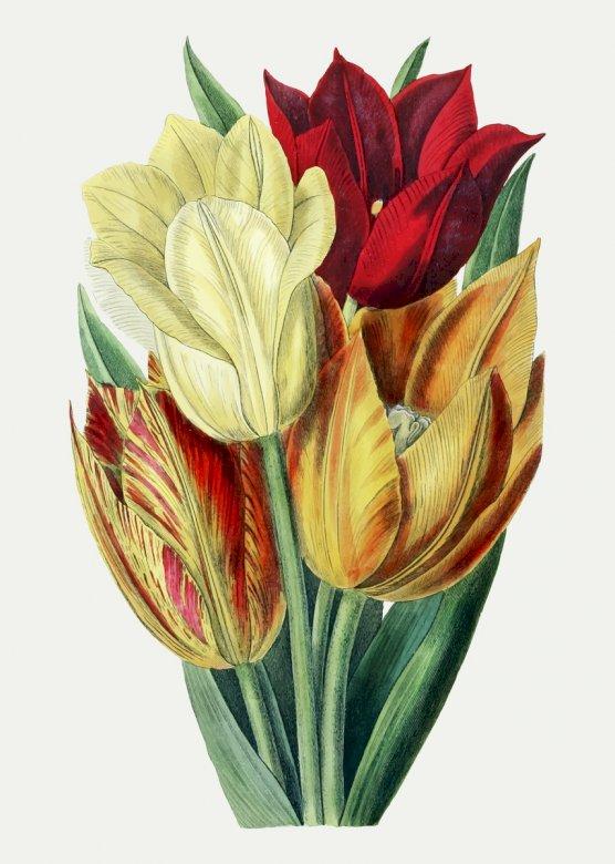 Czerwone i żółte tulipany