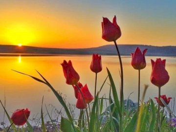 Sunset. - Puzzle: sunset with tulips. A red flower.