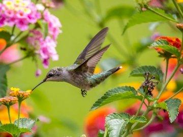 Koliber W Locie - Koliber Wśród Kwiatów Kolorowych. Mały ptak siedzący na kwiacie.