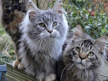 3 cute cats - 3 pretty Maine-coon cats. A cat sitting on top of a wooden fence.