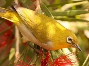 A pretty yellow bird - A pretty yellow bird. A close up of a bird.