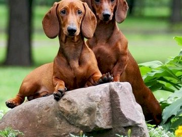 A couple of dachshunds - A beautiful couple of dachshunds. A large brown dog lying on the ground.