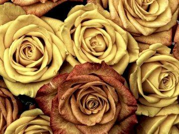 Widok z góry wzoru róży - Żółte i brązowe róże. Hamburg. Zamknięty kwiat.
