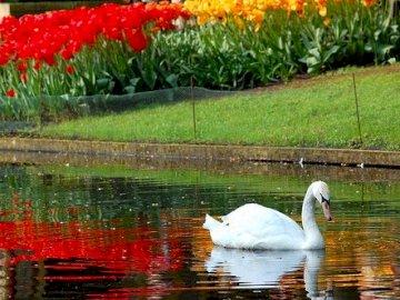 cigno sull'acqua - riva fiorita sul fiume. Un cigno che nuota in uno stagno.