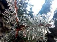 winter spruce twig - frosted spruce twig, zoom. A close up of a tree.