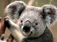 koala medve - MOHAMED GRISSA. Koala. Koala puzzle gyerekeknek. Bowling koala. Vad koala. Koalacolorato. Puzzle egy