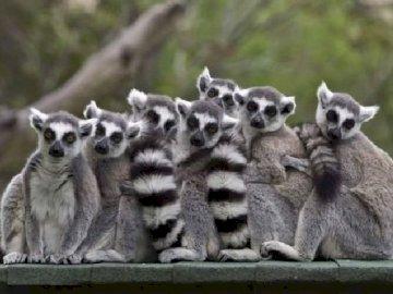 Lémuriens  - Lemury