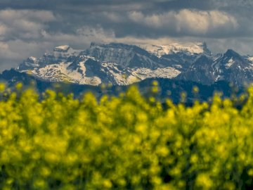 Rapeseed Flowers and snow - Yellow flower field near snow covered mountain during daytime. Switzerland. A view of a large mounta