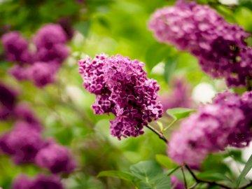 Bzy w rozkwicie - Zbliżenie fotografia purpurowy płatek kwiatu. Haarlem. Zamknięty kwiat.
