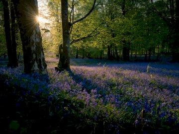 Les jacinthes sont mon officiel - Fleurs pétales pourpres près des arbres. Un arbre dans une forêt.