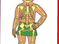 csontrendszer
