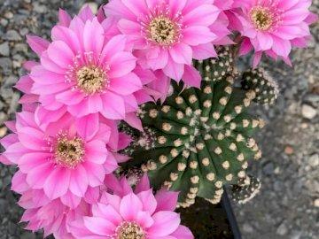Cactus en fleurs. - Puzzle floral: cactus en fleurs. Un bouquet de fleurs violettes.