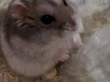 rosolia - Criceto Djungarian di 9 mesi. Una stretta di un gatto.