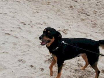 Cane Bolo - Età del cane Bolo 6 anni. Un cane seduto sulla cima di una spiaggia sabbiosa.